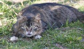 Den utomhus- katten ligger ner på gräset Arkivfoton