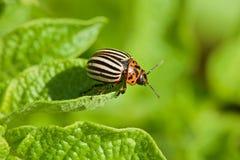 den utskjutande colorado flugan ämnar leafpotatisen till Arkivfoto