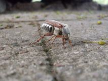 Den utskjutande ollonborren Melolonthidae royaltyfri bild