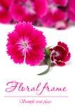 Den utsmyckade blom- ramen av den röda Dianthusbarbatusen blommar Fotografering för Bildbyråer