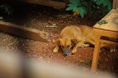 Den uttråkade sömniga hunden royaltyfria bilder