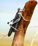 Den utvandrande gräshoppan Arkivbilder
