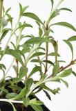 Den välsmakande växten lämnar nytt Arkivbilder