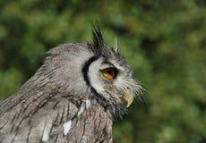 den vända mot owlen scoops white Arkivbilder