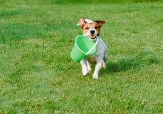 Den vänliga hunden hämtar en hink på trädgårdgräsmatta för grönt gräs Arkivbilder