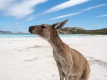 Den vänliga kängurun på stranden, Lucky Bay Cape Le Grand National parkerar royaltyfria foton