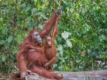 Den vänliga modern och behandla som ett barn orangutang sitter på en journal som ner ligger (Indonesien) Royaltyfria Bilder