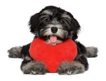 Den vänvalentinHavanese valpen förföljer med en röd hjärta royaltyfri fotografi