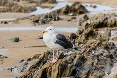 Den västra fiskmåsen på stranden vaggar på lågvatten Royaltyfria Bilder