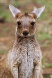 Den västra gråa kängurun behandla som ett barn (Macropusfuliginosusen) Fotografering för Bildbyråer