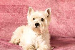 Den v?stra h?glandet vita Terrier ligger hemma p? soffan close upp royaltyfria bilder