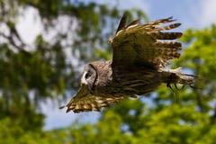 Den västra ladugårdugglan, Tytoalbum i en natur parkerar arkivfoton