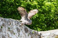 Den västra ladugårdugglan, Tytoalbum i en natur parkerar royaltyfria bilder