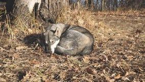Den västra siberianen Laika sover under ett träd på torra sidor arkivfilmer