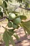 Den växande fikonträdet bär frukt på filialer av en fikonträd Arkivbilder