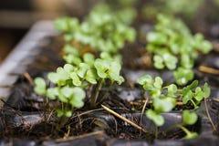 Den växande grönsakväxten kärnar ur i krukor för plast- ask arkivbilder