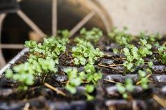 Den växande grönsakväxten kärnar ur i krukor för plast- ask royaltyfri bild