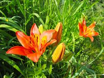 Den växande liljan i parkerar, trädgården blomma orange gr?na leaves close upp royaltyfria foton
