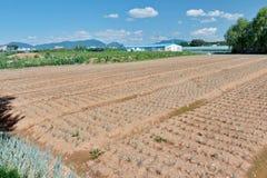 Den växande salladslöken bäddar ned i fältet i koreansk bygd arkivbilder