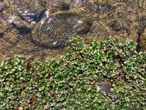 Den växande växten vid flodvattnet på vaggar arkivfoton