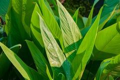 Den våta gröna heliconiaen lämnar busken arkivfoto