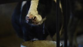 Den våta näsan av en ko efter dricksvatten, mot ljus ånga kommer från näsan Tugga kon lager videofilmer