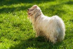 Den våta skämtsamma Havanese hunden väntar på en vattenstråle Arkivbild