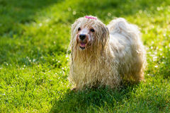 Den våta skämtsamma Havanese hunden väntar på en vattenstråle Arkivfoton