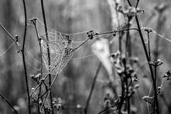 Den våta spindeln förtjänar, spindelnätet på tistlar, selektiv fokus arkivfoto