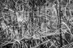 Den våta spindeln förtjänar, spindelnätet på tistlar, selektiv fokus Arkivbilder