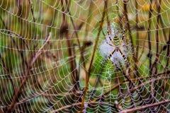 Den våta spindeln förtjänar, spindelnätet på tistlar, selektiv fokus Royaltyfri Fotografi