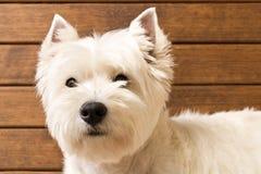 Den v?stra h?glandet vita Terrier sitter mot en tr?v?gg close upp fotografering för bildbyråer