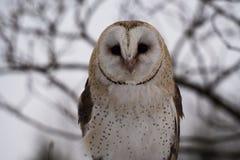 Den v?stra ladug?rdugglan, Tytoalbum i en natur parkerar fotografering för bildbyråer