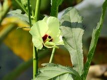 Den vagetable blomman för okra arkivbild