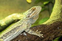 Den vanliga australiska agamaen, central uppsökte draken, Pogona vitticeps Fotografering för Bildbyråer