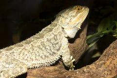Den vanliga australiska agamaen, central uppsökte draken, Pogona vitticeps Royaltyfria Foton