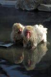 den varma japanska macaquen härmar fjädrar två Fotografering för Bildbyråer
