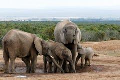 Den verkliga familjen för afrikanBush elefant Royaltyfri Foto