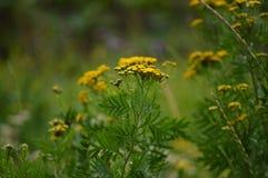 den verkliga sk?nheten av naturen Små gula blommor av tansyen arkivfoton
