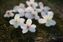 Den Vernicia fordiien blommar på jordningen Royaltyfria Bilder