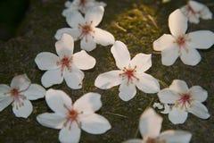Den Vernicia fordiien blommar på jordningen Royaltyfri Fotografi