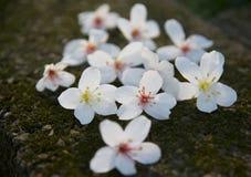 Den Vernicia fordiien blommar på jordningen Arkivfoto