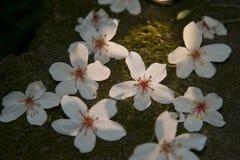 Den Vernicia fordiien blommar på jordningen Fotografering för Bildbyråer