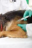 Den veterinär- kirurgen ger vaccinen till hundtysken Sheph Arkivfoton