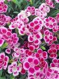 Den vibrerande dianthusen blommar i skuggor av rosa färger Royaltyfri Fotografi