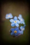 Den vibrerande förgätmigejvåren blommar med texturerat och karaktärsteckningen Arkivbild