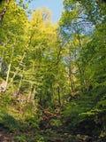 den vibrerande gröna vårskogsmarken i en dal för brant backe med högväxta bokträdträd och den lilla strömmen i nutcloughträn nära fotografering för bildbyråer