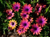 Den vibrerande rosa färgen blommar att blomma i en trädgård i Victoria royaltyfri foto