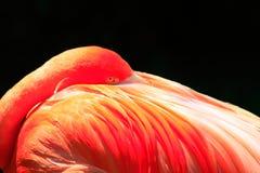 Den vibrerande rosa flamingo på vilar arkivfoto