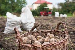 Den vide- korgen fylls med nytt grävde potatisar På korg finns det hackan - retro handhjälpmedel för att gräva för potatis Liv i arkivfoto